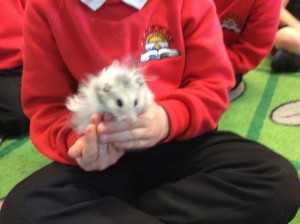 Silver is a long haired Syrian hamster.